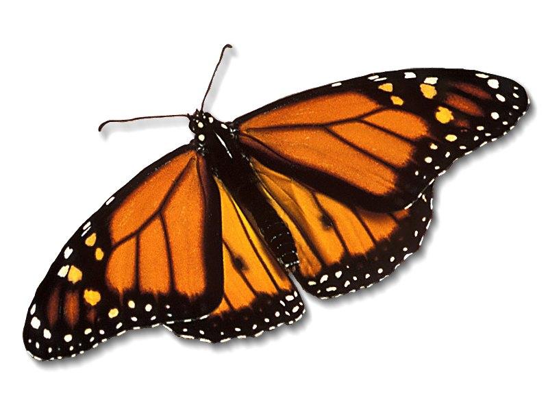 Monarch butterfly wings - photo#15